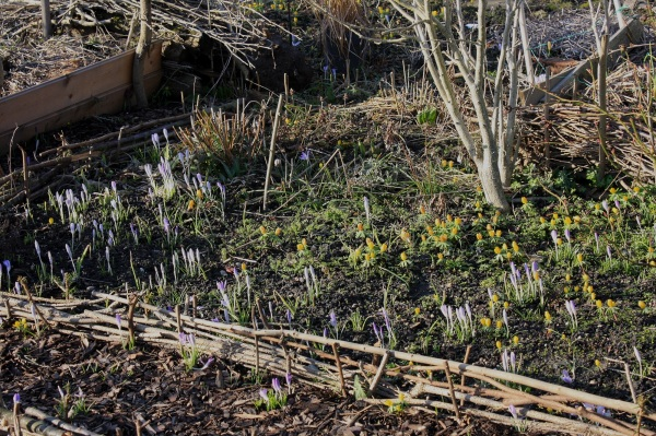 Bohnenbeet überzogen von Krokussen und Winterlingen
