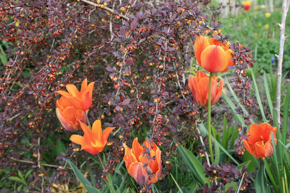 Orangene Tulpen in blühender Blutberberitze