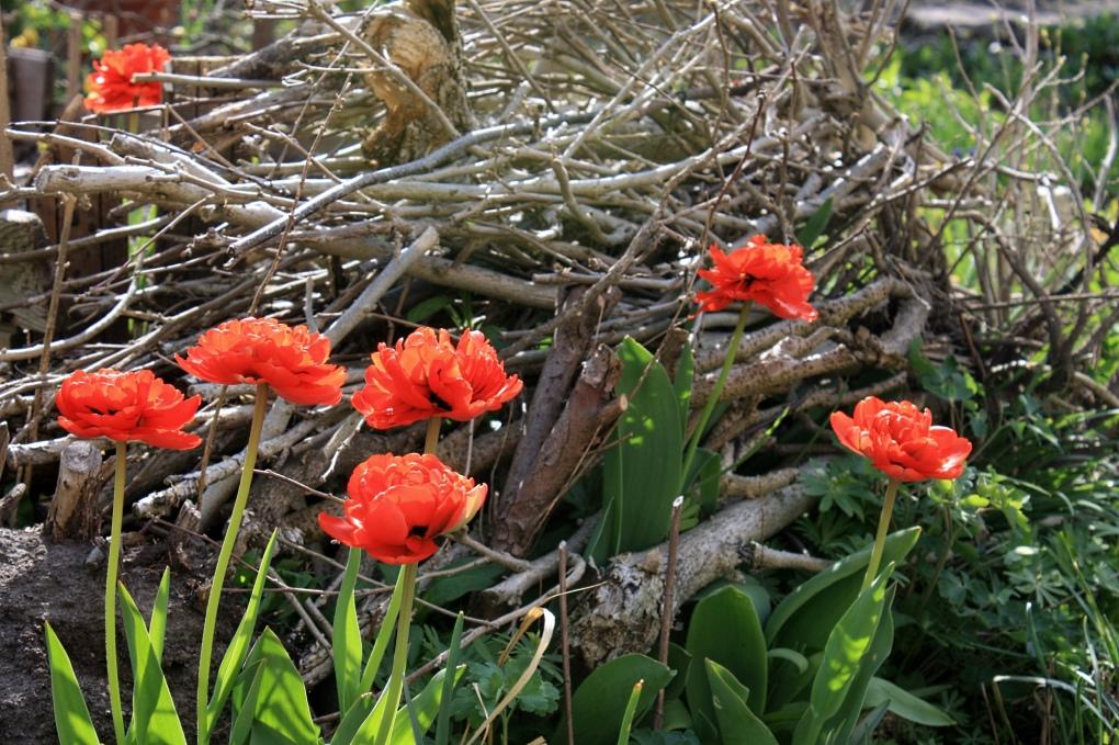 Rote Tulpen am Totholzhaufen