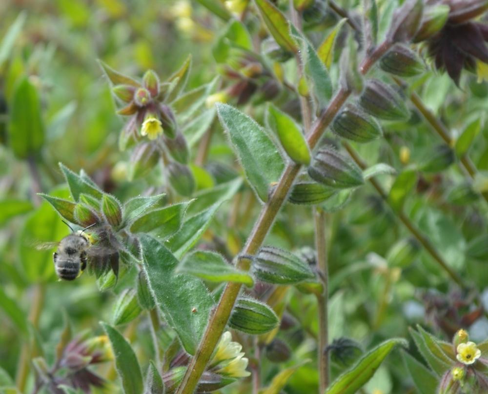Biene? auf Futtersuche