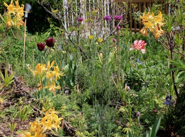 Gelbe Azaleen vor Kräuterbeet mit violetten Tulpen und Alium