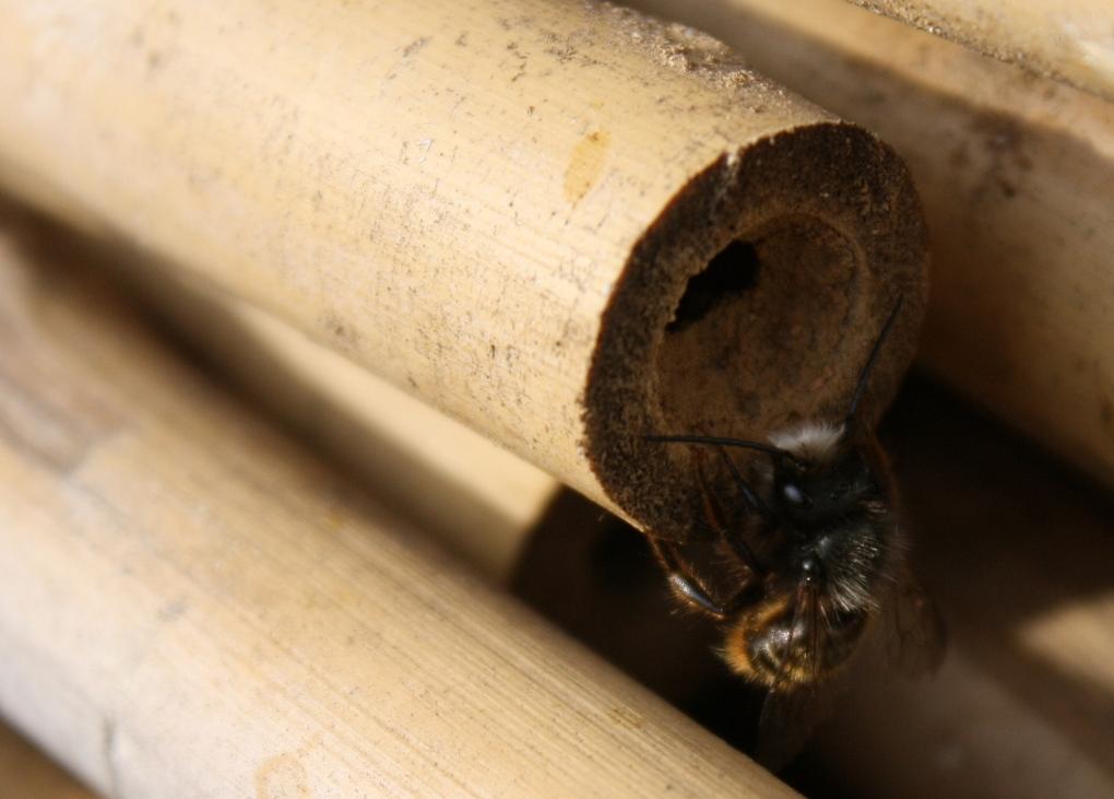 Männchen Mauerbiene