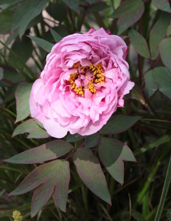 rosa Strauchpäonie