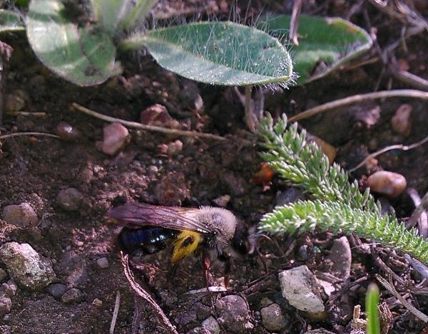 Weiden-Sandbiene