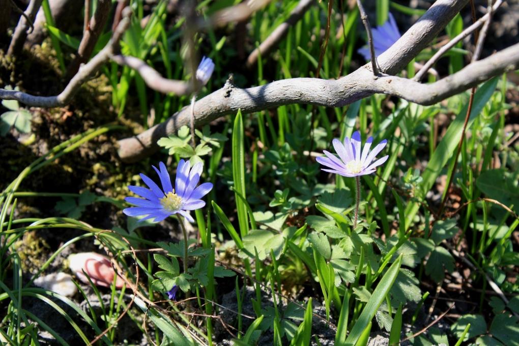 frühling_anemone